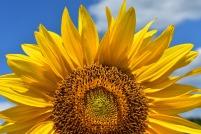 sun-flower-2824894_1920